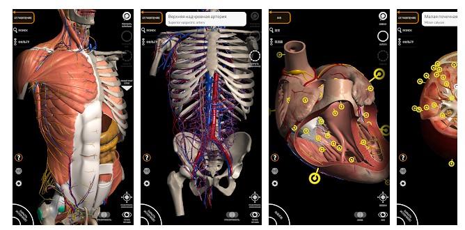 Изучении анатомии человека